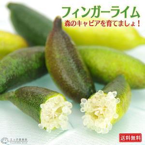 フィンガーライム 12cmポット接ぎ木苗 ( 送料無料 ) 3年生 produce87
