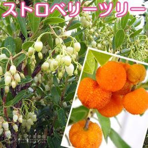 いちごの木 (ストロベリーツリー) 10.5cmポット苗|produce87