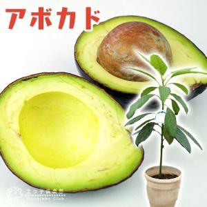 アボカド 『 ハス 』 2年生 実生苗 5号鉢植え 希少 (アボガド)|produce87
