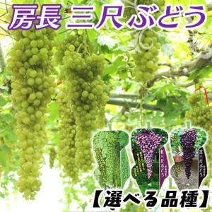 ブドウ 『 房長 三尺ぶどう 』 10.5cmポット苗 (選べる品種)|produce87