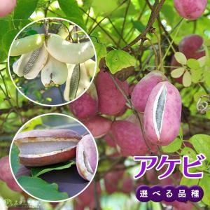 アケビ ( バナナアケビ / 紫アケビ ) 12cmポット苗 【 選べる品種 】|produce87