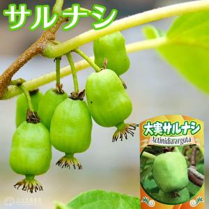 大実 サルナシ 『 エメロード 』 10.5cmポット苗 (ベビーキウイ、コクワ)