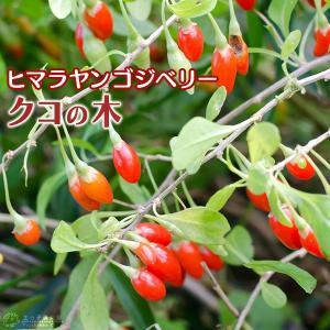 クコの木 『 ヒマラヤンゴジベリー 』 12cmポット苗木|produce87