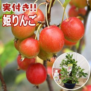 実付き ヒメリンゴ 『 姫りんご 』 6号鉢植え ( 盆栽仕立て )|produce87