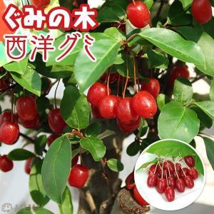 グミの木 『 西洋グミ 』 6号鉢植え(盆栽仕立て)|produce87
