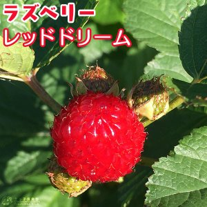 ラズベリー 木立性 『 レッドドリーム 』 15cmポット挿し木苗木 ( ウルトララズベリー )|produce87