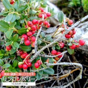 リンゴンベリー ( コケモモ ) 12cmポット苗|produce87