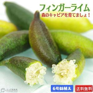 フィンガーライム 2年生 接ぎ木 6号鉢植え【 送料無料 】【 選べる品種 】 produce87