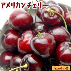 アメリカンチェリー 『 ビング 』( サクランボ )12cmポット苗木 ( 1年生 接ぎ木苗 )|produce87