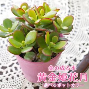 多肉植物  『 黄金姫花月 』 選べるカラーポット入り <今だけポイント10倍 8/22昼迄>|produce87