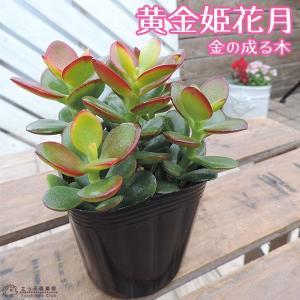 多肉植物 『 黄金姫花月 』 9cmポット苗 ( 金のなる木 )|produce87