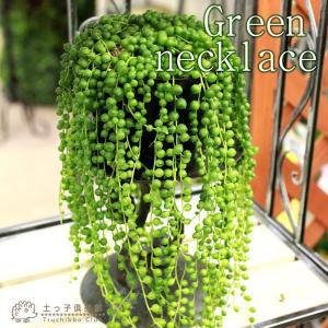 多肉植物 『 グリーンネックレス ( 緑の鈴 ) 』 7.5cmポット苗|produce87
