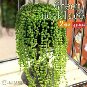 多肉植物 『 グリーンネックレス ( 緑の鈴 ) 』 2個セット ( 送料無料 ) 7.5cmポット苗|produce87