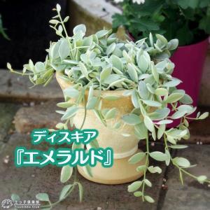 ディスキディア 『 エメラルド 』 7.5cmポット苗|produce87