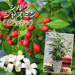 シルクジャスミン ( ゲッキツ ) 5号角鉢植え 【 無料包装 】|produce87