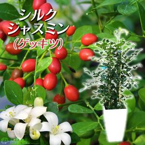 シルクジャスミン(ゲッキツ) 7号角鉢植え 無料包装
