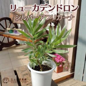 リューカデンドロン 『シルバーアフリカーナ』 4号鉢植え|produce87