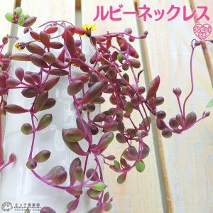 多肉植物 『 ルビーネックレス 』 7.5cmポット苗 ( 鉢と受け皿プレゼント )|produce87