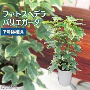 ファトスヘデラ ( ハトスヘデラ ) バリエガータ 7号ロング鉢植え produce87