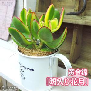 多肉植物  『 斑入り花月 』 ( 黄金錦 ) 9cmポット苗|produce87