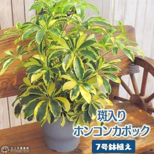 斑入りホンコンカポック ( シェフレラ ) 7号鉢植え|produce87