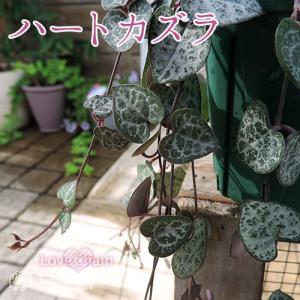 ハートカズラ 9cmポット苗|produce87