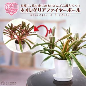 ネオゲリア 『 ファイヤーボール 』 斑入り 10.5cmポット|produce87