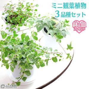 ミニ観葉植物 3品種 セット ( 鉢と受け皿プレゼント )|produce87