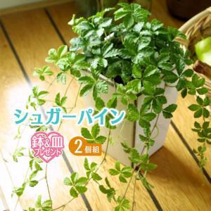 シュガーバイン 9cmポット 2個組 ( 鉢と受け皿プレゼント )|produce87