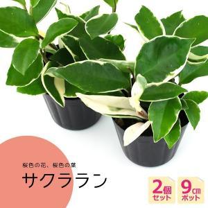 2個セット ミニ観葉植物 サクララン 9cmポット|produce87