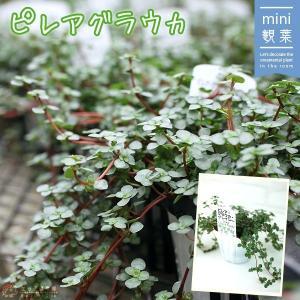 ミニ観葉植物 『 ピレアグラウカ 』 9cmポット|produce87