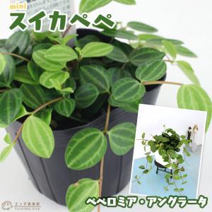 ミニ観葉植物 『 スイカペペ  』 9cmポット苗 (ペペロミア・アングラータ)|produce87