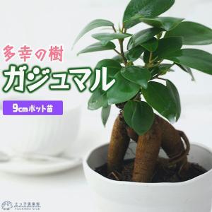 ガジュマル ( がじゅまる )ミニ観葉 9cmポット( 幸せの木 多幸の木 )|produce87