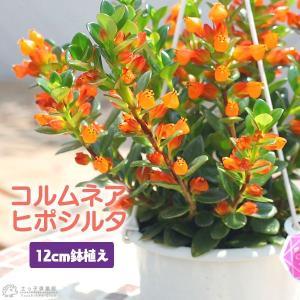 コルムネア ( ヒポシルタ ) 12cm鉢植え|produce87
