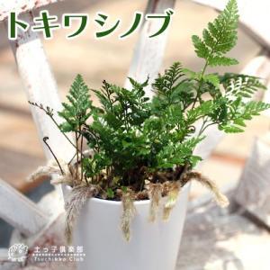 ミニ観葉 『 トキワシノブ 』 9cmポット苗|produce87