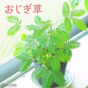おじぎ草 ( オジギソウ ) 9cmポット苗 2個セット|produce87