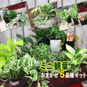ミニ観葉 『 おまかせ 5品種セット 』 9cmポット ( 観葉植物 5個セット )|produce87