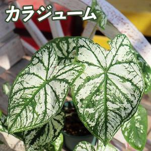 カラジューム ( カラジウム ) 9cmポット苗|produce87
