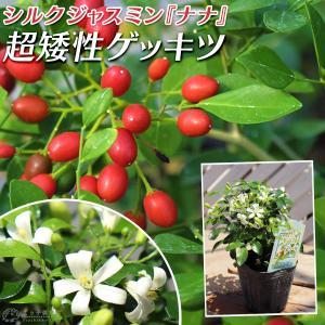 超矮性月橘 『 シルクジャスミン・ナナ 』( ゲッキツ ) 9cmポット苗|produce87