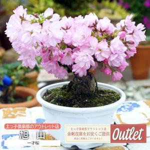 【訳あり・在庫処分】桜 サクラ 盆栽 一才桜  旭山(あさひやま)