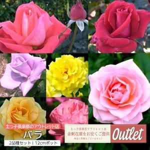 【訳あり・在庫処分】 バラ 2年生 12cmポット苗 ( 2品種セット )