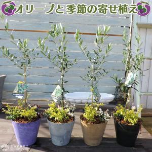 オリーブと季節の寄せ植え ( アートストーン22cm鉢植え )|produce87