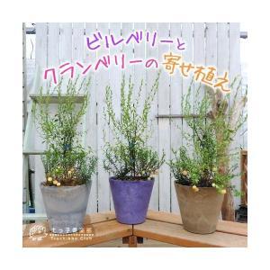 ビルベリーとクランベリーの寄せ植え ( アートストーン22cm鉢植え )|produce87