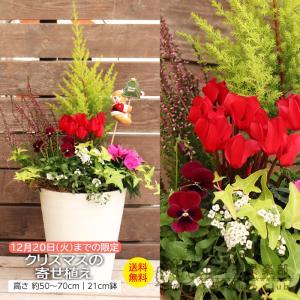 クリスマスの寄せ植え ( 送料無料 ) 玄関 ベランダ クリスマスプレゼント用 <今だけポイント10倍 12/10昼迄>|produce87