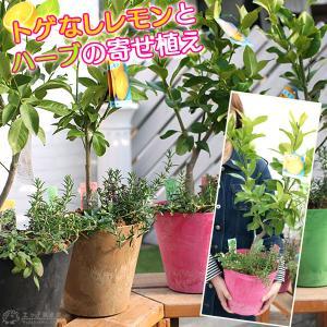 レモンの木 & ハーブ 『 トゲなしレモンとハーブの寄せ植え 』  ( アートストーン22cm鉢植え )|produce87