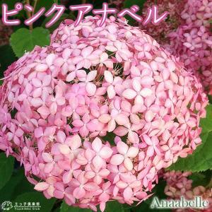 アジサイ  『ピンクアナベル 』 10.5cmポット苗|produce87