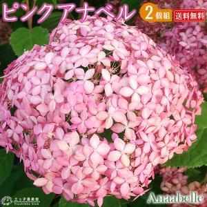 アメリカ原産の手まり咲きのアジサイ「アナベル」のピンク花品種。蕾は赤く、咲きはじめた装飾花は 濃いピ...