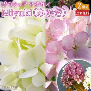 アジサイ  『 ピラミッドアジサイ Miyuki ( みゆき ) 』 2個セット 送料無料 10.5cmポット苗|produce87