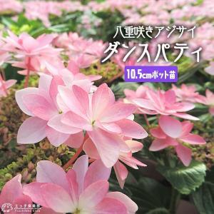 「ダンスパティ」は、最近人気急上昇中のガクアジサイ。八重咲きの装飾花、細長い花弁は優雅で華やかさもあ...