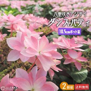 八重咲きアジサイ 『ダンスパティ』 10.5cmポット苗 2個セット 送料無料 produce87